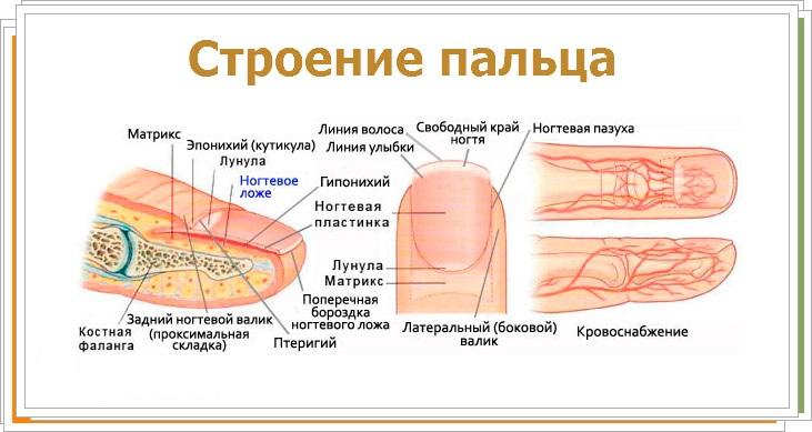 устройство пальца человека схема с подписями