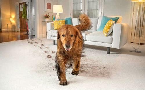 собака идет по ковру очень грязными лапами и оставляет грязные следы