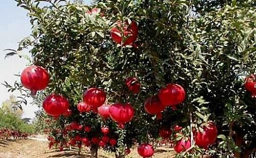 гранатовая роща: на деревьях висит множество спелых красных вкусных гранатов