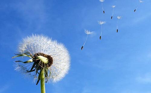 белый одуванчик летит по ветру