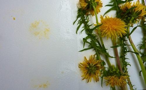 букет одуванчиков лежит на столе рядом видны пятна пыльцы