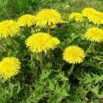 куст цветущих одуванчиков в траве